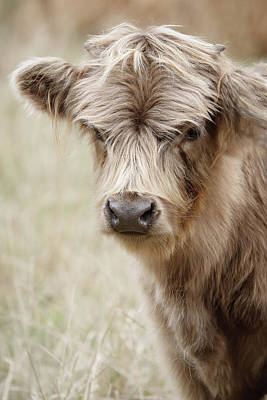 Photograph - Baby Scottish Highland Cow by Athena Mckinzie