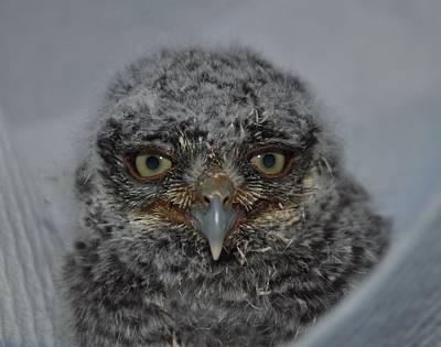 Baby Screech Owl Art Print by Monteen  McCord