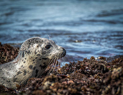 Photograph - Baby Seal by Bill Posner