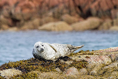 Baby Seal In Mull, Scotland Art Print