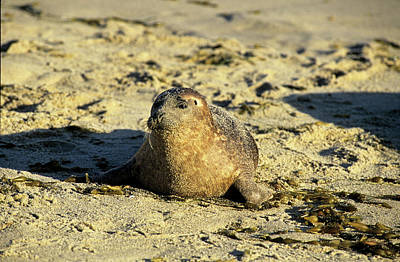 Photograph - Baby Seal In Sand by David Shuler