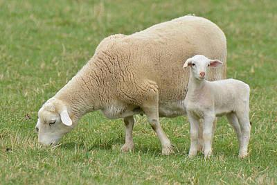 Photograph - Baby Sheep Exploring Its World by Alan Lenk