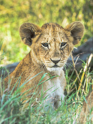 Photograph - Baby Simba by Robin Zygelman