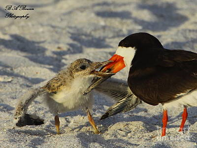 Photograph - Baby Skimmer Feeding by Barbara Bowen