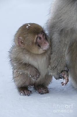 Parental Care Photograph - Baby Snow Monkey by Jean-Louis Klein & Marie-Luce Hubert
