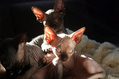 Movies Star Paintings - Baby Sphynx Cats  by Ruben  Flanagan