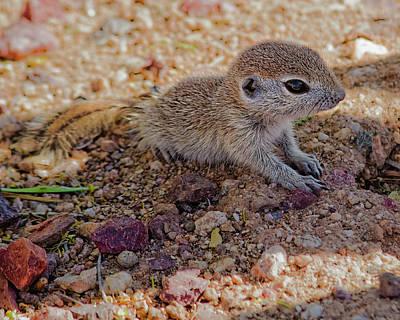 Round-tailed Ground Squirrel Photograph - Baby Squirrel H48 by Mark Myhaver