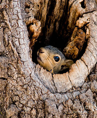 Baby Squirrel In Nest Print by Betty LaRue