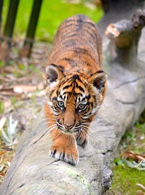 Photograph - Baby Sumatran Tiger Cub by Richard Bryce and Family