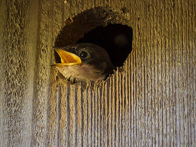 Photograph - Baby Swallows First Impression by Jean Noren