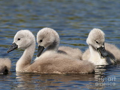 Photograph - Baby Swan Lake by Wingsdomain Art and Photography