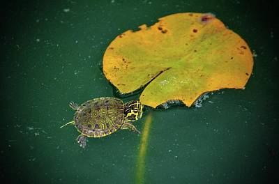 Photograph - Baby Turtle And Lily Pad by Cynthia Guinn