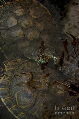 Photograph - Baby Turtle by Cheryl Baxter