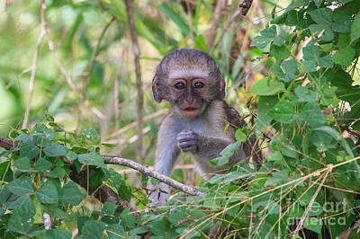 Baby Vervet Monkey Art Print