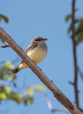 Photograph - Baby Western Kingbird by Loree Johnson