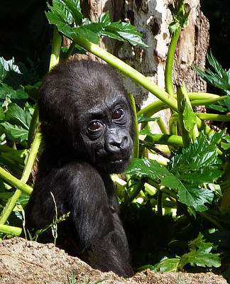 Photograph - Baby Western Lowland Gorilla by Margaret Saheed