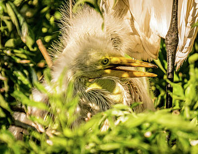 Photograph - Baby White Egret by Jane Luxton