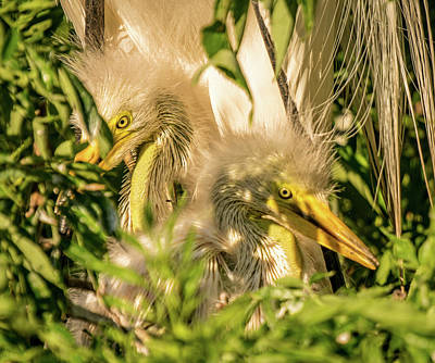 Photograph - Baby White Egrets by Jane Luxton