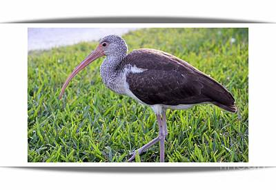 Photograph - Baby White Ibis by Elaine Manley