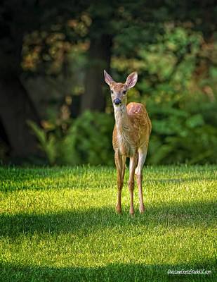 Photograph - Baby White Tail Deer by LeeAnn McLaneGoetz McLaneGoetzStudioLLCcom