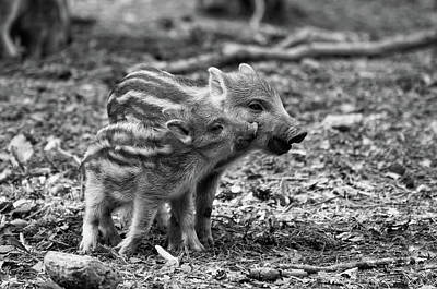 Photograph - Baby Wild Boars by Oliver Volker
