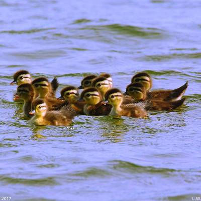 Photograph - Baby Wood Ducks First Outing by Lisa Wooten