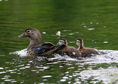Photograph - Baby Wood Ducks With Mom by Carol Groenen