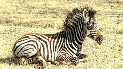 Photograph - Baby Zebra by David Rich