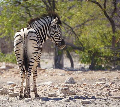 Photograph - Baby Zebra by Katie McConnachie