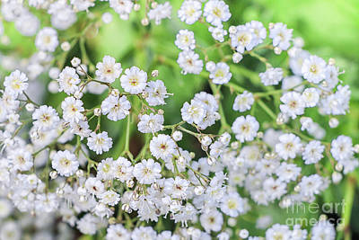Photograph - Baby's Breath by Elizabeth Dow