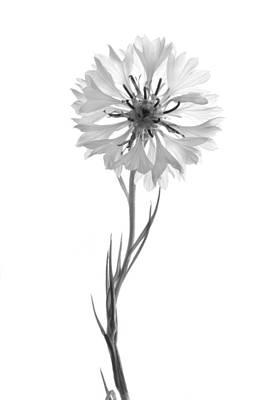 Photograph - Bachelor Button Black And White by Ann Bridges