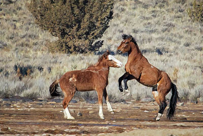 Photograph - Bachelor Stallions Practicing The Art Of Fighting, No. 1 by Belinda Greb