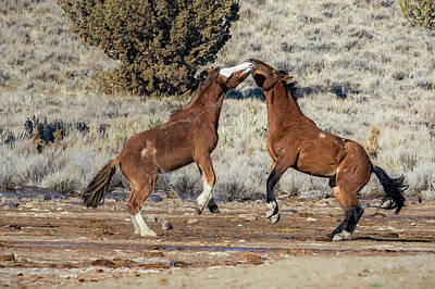Photograph - Bachelor Stallions Practicing The Art Of Fighting, No. 2 by Belinda Greb