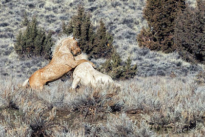 Photograph - Bachelor Stallions Practicing The Art Of Fighting, No. 3 by Belinda Greb