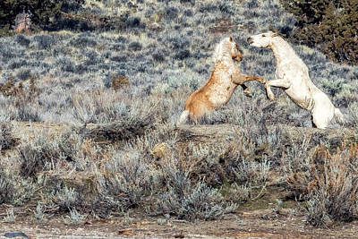 Photograph - Bachelor Stallions Practicing The Art Of Fighting, No. 5 by Belinda Greb