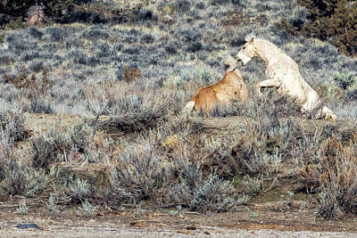 Photograph - Bachelor Stallions Practicing The Art Of Fighting, No. 6 by Belinda Greb