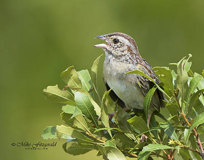 Photograph - Bachman Sparrow by Mike Fitzgerald