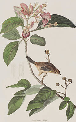 Pink Flower Branch Painting - Bachmans Sparrow by John James Audubon