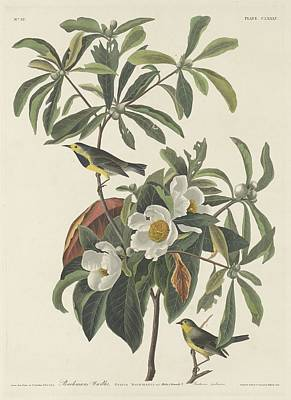 Wings Drawing - Bachman's Warbler by Dreyer Wildlife Print Collections