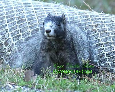 Photograph - Black Delmarva Fox Squirrel by Captain Debbie Ritter