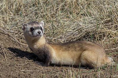 Black-footed Ferret Photograph - Back-footed Ferret Keeps Watch by Tony Hake