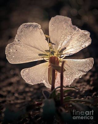 Photograph - Back Lighting Evening Primrose by Robert Bales