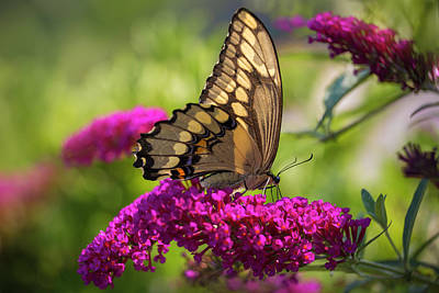 Photograph - Back-lit Papilio by Kim Carpentier