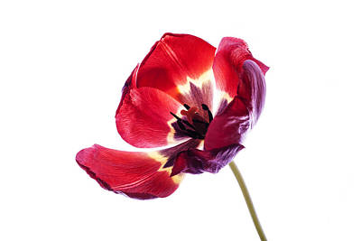 Photograph - Back Lit Red Tulip On White Background by Vishwanath Bhat