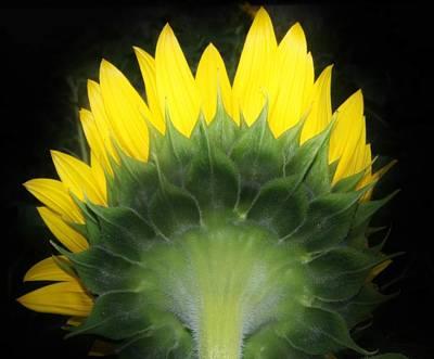 Photograph - Back Of A Sunflower  by Karen Silvestri