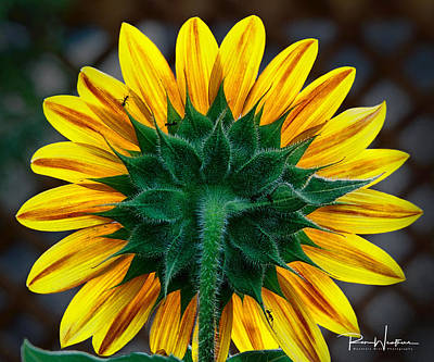 Photograph - Back Of Sunflower by Ron Weathers