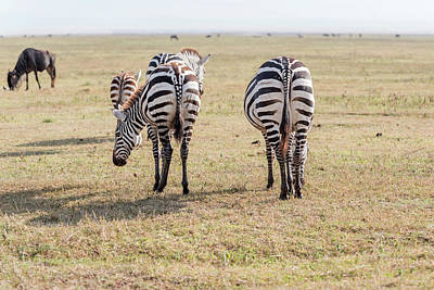 Photograph - Back Of Zebras In Serengeti National Park by Marek Poplawski