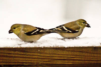 Snow Seeds Photograph - Back To Back American Gold Finches by Douglas Barnett