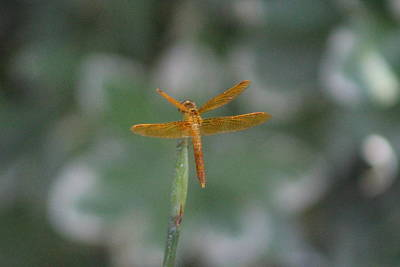 Photograph - Back View Of Amberwing Dragonfly by Colleen Cornelius