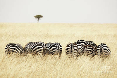 Photograph - Back View Of Zebras In A Row  by Jane Rix